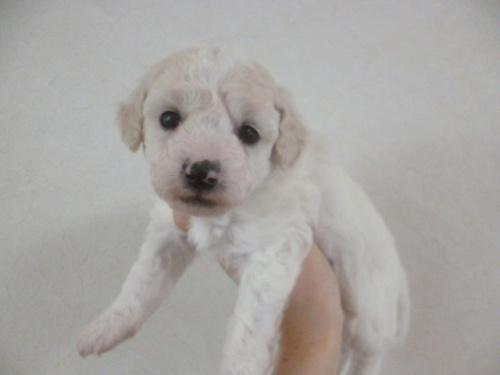 ビションフリーゼの子犬(ID:1252311177)の3枚目の写真/更新日:2017-03-07