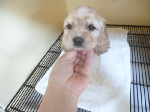 アメリカンコッカースパニエルの子犬(ID:1252311179)の2枚目の写真/更新日:2018-06-11