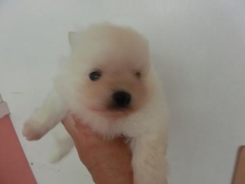 ポメラニアンの子犬(ID:1252311180)の1枚目の写真/更新日:2017-04-20