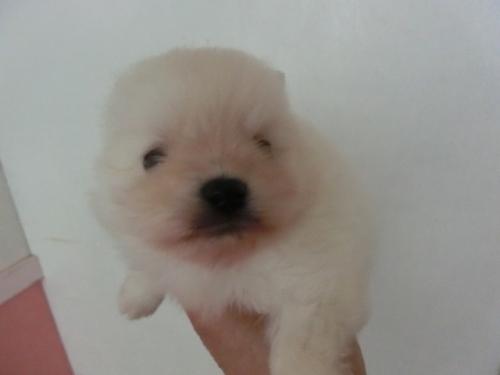 ポメラニアンの子犬(ID:1252311180)の2枚目の写真/更新日:2017-04-20