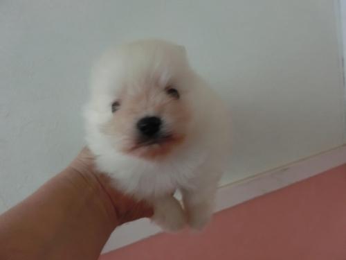 ポメラニアンの子犬(ID:1252311180)の3枚目の写真/更新日:2017-04-20