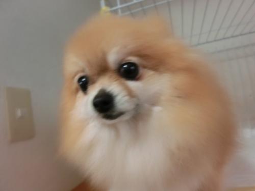 ポメラニアンの子犬(ID:1252311180)の5枚目の写真/更新日:2017-03-31