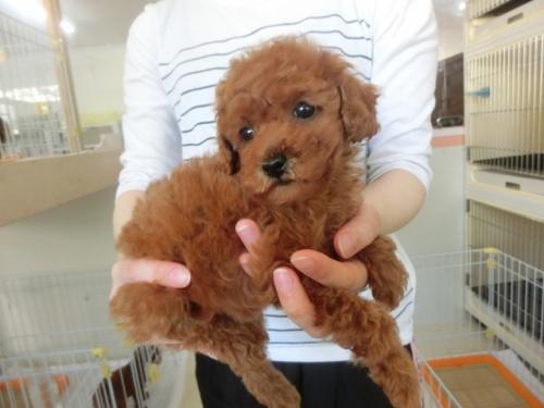 トイプードルの子犬(ID:1252311181)の2枚目の写真/更新日:2017-05-06