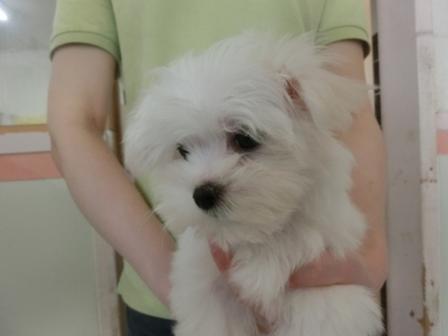 マルチーズの子犬(ID:1252311188)の2枚目の写真/更新日:2017-06-07