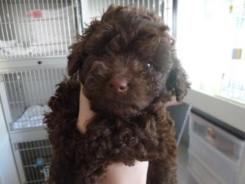 トイプードルの子犬(ID:1252311191)の1枚目の写真/更新日:2017-07-03