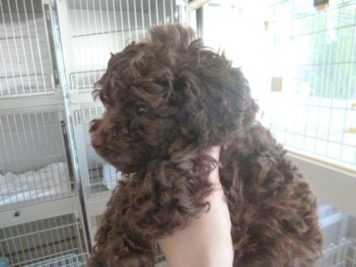 トイプードルの子犬(ID:1252311191)の2枚目の写真/更新日:2017-07-03
