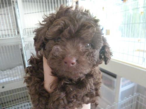 トイプードルの子犬(ID:1252311191)の3枚目の写真/更新日:2017-07-03