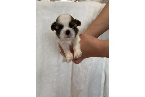 シーズーの子犬(ID:1252311195)の1枚目の写真/更新日:2018-06-18