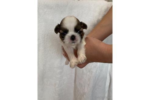 シーズーの子犬(ID:1252311195)の2枚目の写真/更新日:2021-10-06
