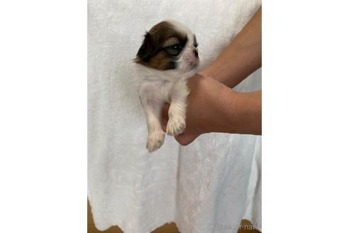 シーズーの子犬(ID:1252311195)の4枚目の写真/更新日:2021-10-06