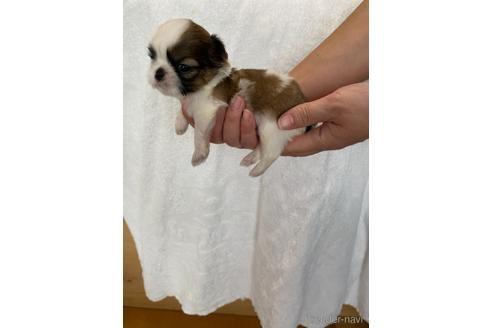 シーズーの子犬(ID:1252311195)の5枚目の写真/更新日:2021-10-06