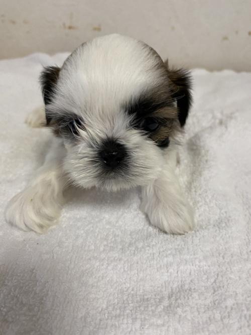 シーズーの子犬(ID:1252311201)の2枚目の写真/更新日:2017-08-19