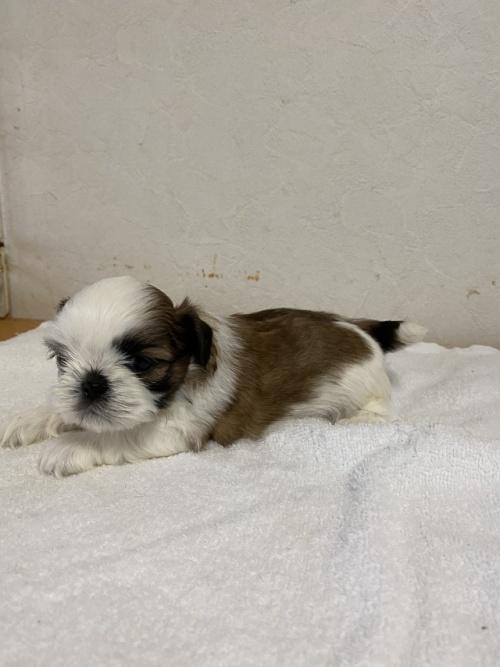 シーズーの子犬(ID:1252311201)の3枚目の写真/更新日:2017-08-19