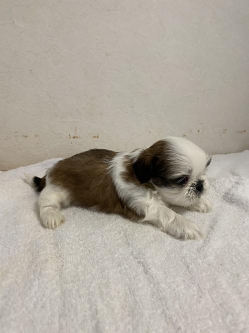 シーズーの子犬(ID:1252311201)の4枚目の写真/更新日:2017-08-19