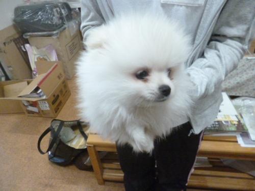 ポメラニアンの子犬(ID:1252311202)の2枚目の写真/更新日:2017-09-01