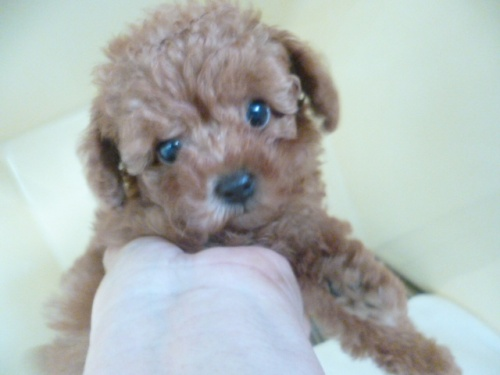 トイプードルの子犬(ID:1252311203)の1枚目の写真/更新日:2017-09-20