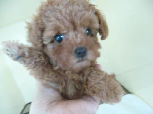 トイプードルの子犬(ID:1252311203)の2枚目の写真/更新日:2017-09-20