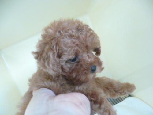 トイプードルの子犬(ID:1252311203)の3枚目の写真/更新日:2017-09-20
