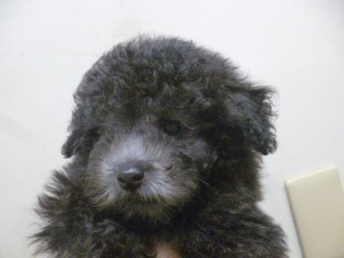 トイプードルの子犬(ID:1252311204)の1枚目の写真/更新日:2017-09-26