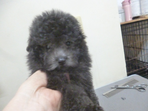 トイプードルの子犬(ID:1252311204)の2枚目の写真/更新日:2017-09-26