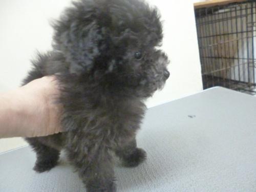 トイプードルの子犬(ID:1252311204)の4枚目の写真/更新日:2017-09-26