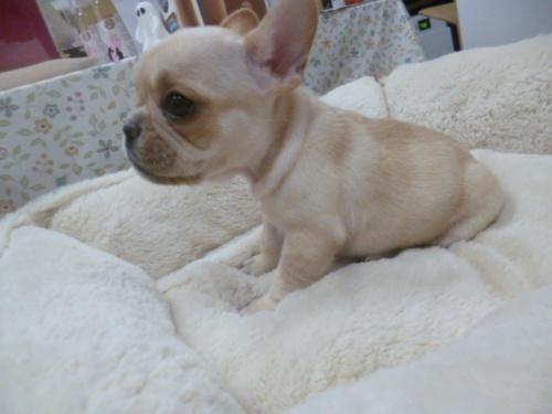 フレンチブルドッグの子犬(ID:1252311210)の3枚目の写真/更新日:2017-11-13