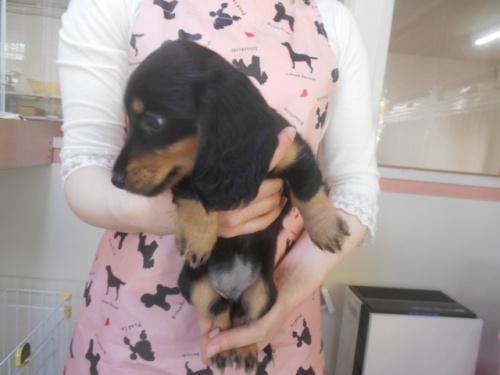 ミニチュアダックスフンド(ロング)の子犬(ID:1252311211)の3枚目の写真/更新日:2017-11-16