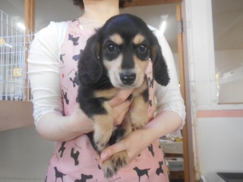 ミニチュアダックスフンド(ロング)の子犬(ID:1252311212)の1枚目の写真/更新日:2020-11-16