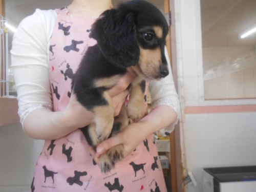 ミニチュアダックスフンド(ロング)の子犬(ID:1252311212)の2枚目の写真/更新日:2017-11-16