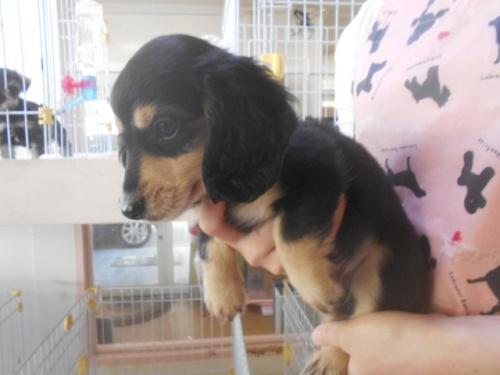 ミニチュアダックスフンド(ロング)の子犬(ID:1252311212)の3枚目の写真/更新日:2017-11-16