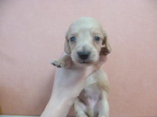 ミニチュアダックスフンド(ロング)の子犬(ID:1252311213)の1枚目の写真/更新日:2017-11-16