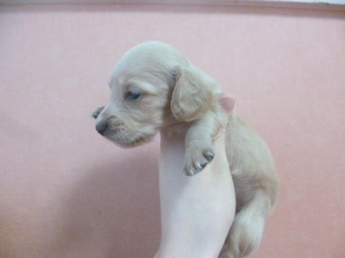 ミニチュアダックスフンド(ロング)の子犬(ID:1252311213)の3枚目の写真/更新日:2017-11-16