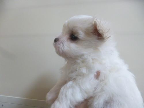 マルチーズの子犬(ID:1252311214)の2枚目の写真/更新日:2017-12-15