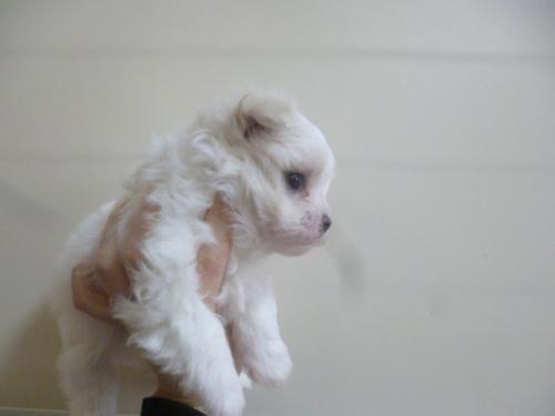 マルチーズの子犬(ID:1252311214)の3枚目の写真/更新日:2017-12-15