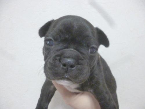 フレンチブルドッグの子犬(ID:1252311215)の2枚目の写真/更新日:2018-01-16