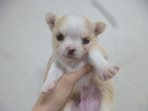 チワワ(ロング)の子犬(ID:1252311216)の1枚目の写真/更新日:2018-01-16