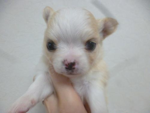 チワワ(ロング)の子犬(ID:1252311216)の2枚目の写真/更新日:2018-01-16