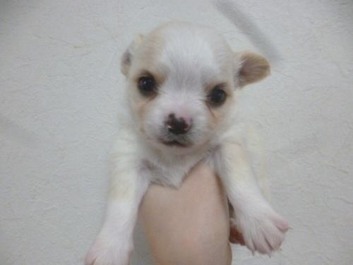 チワワ(ロング)の子犬(ID:1252311217)の1枚目の写真/更新日:2018-01-16