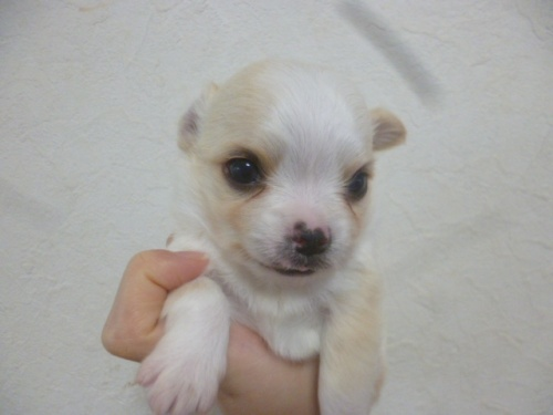 チワワ(ロング)の子犬(ID:1252311217)の2枚目の写真/更新日:2018-01-16