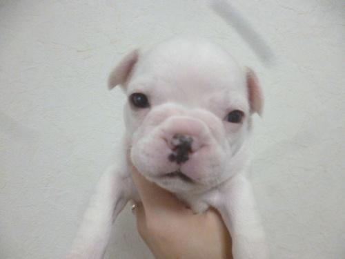 フレンチブルドッグの子犬(ID:1252311218)の1枚目の写真/更新日:2018-01-16