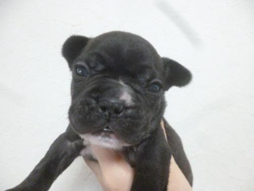 フレンチブルドッグの子犬(ID:1252311219)の2枚目の写真/更新日:2018-01-16