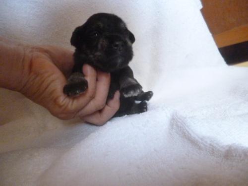 ミニチュアシュナウザーの子犬(ID:1252311221)の2枚目の写真/更新日:2018-05-16