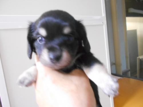 ミックスの子犬(ID:1252311224)の1枚目の写真/更新日:2018-03-14