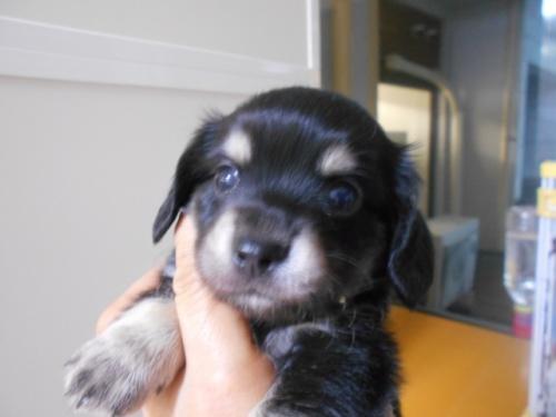 ミックスの子犬(ID:1252311224)の2枚目の写真/更新日:2018-03-14