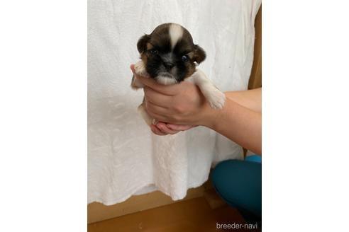 シーズーの子犬(ID:1252311225)の1枚目の写真/更新日:2021-10-06