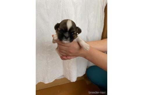 シーズーの子犬(ID:1252311225)の2枚目の写真/更新日:2021-10-06