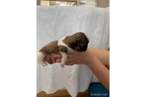 シーズーの子犬(ID:1252311225)の4枚目の写真/更新日:2021-02-19