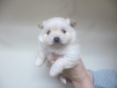 ポメラニアンの子犬(ID:1252311227)の1枚目の写真/更新日:2018-03-28