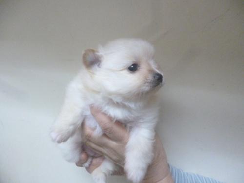 ポメラニアンの子犬(ID:1252311227)の3枚目の写真/更新日:2018-03-28
