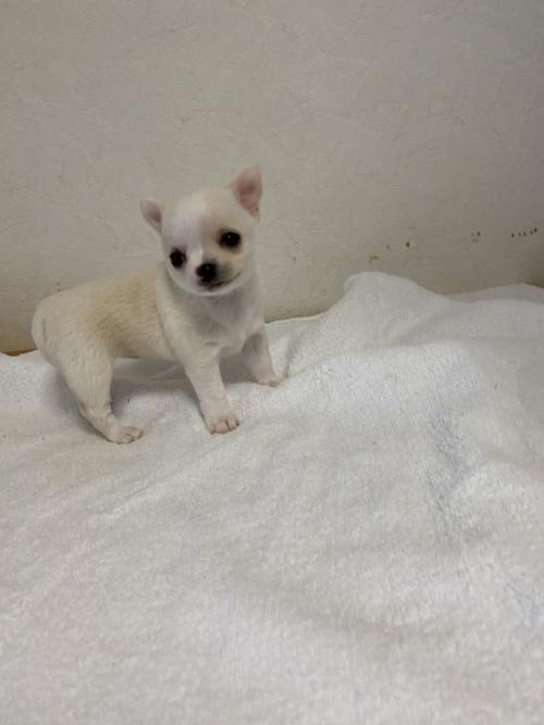 チワワ(ロング)の子犬(ID:1252311229)の3枚目の写真/更新日:2018-05-16